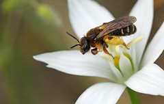Andrena mocsaryi f._8026 (Henrik Gyurkovics) Tags: andrenamocsaryi andrena andrenidae miningbees bees bee hymenoptera hungary