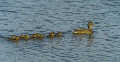 Mallard (Bojan Ž.) Tags: mallard raca anasplatyrhynchos bird birds animal wildlife sony ilce7r sonyilce7r sonyflickraward