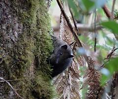 cuscus at kumul lodge (Pete Read) Tags: cuscus kumul lodge papau new guinea