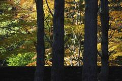 Mt Wilson 11 (trisharooni) Tags: australia autumn mtwilson breenhold