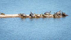 A dole of turtles bask in the sun (sniggie) Tags: turtle log sunbathing lake kentucky water bernheimforest basking spring