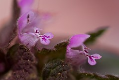 Micro Weed! (ineedathis,The older I get the more fun I have....) Tags: flower weed reddeadnettle lamiumpurpureum purplearchangel purpledeadnettlevelikdenchegardennaturespringmacronikon d750 pink green bokeh wildflower plant blossom outdoor garden nature macro