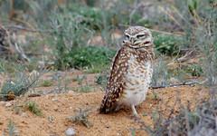Burrowing Owl (Athene cunicularia); Los Lunas, NM [Lou Feltz] (deserttoad) Tags: bird wildbird nature newmexico desert outdoors behavior raptor owl