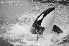 Back into the water (GALINETTE1208) Tags: black white wikie inouk keijo moana marineland antibes d5200 nikon orca orque killer whales seaworld shamu cetace cetacean mammal marine france spectacle show underwater big impressive kicker noir blanc