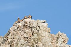 Pene Falcon Rock with Griffon Vultures (ToriAndrewsPhotography) Tags: griffon vulture monfrague national park extremadura spain pene falcon rock perched nesting photography andrews tori