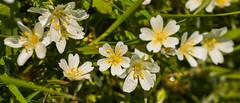 Douglas Meadowfoam (phoca2004) Tags: buttecounty d90 limnanthesdouglasii meadowfoam nikon oroville wildflowers california unitedstates us limnanthesdouglasiisspnivea douglasmeadowfoam