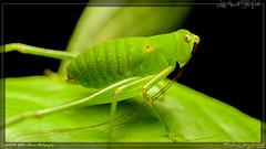 shy katydid (kelvinj_funlab) Tags: kelvinjong funlab d810 nikon tamron90mmf28spdimacro11vcusd nissini40 tamron macro kenko sengkang singapore insect katydid afternoon