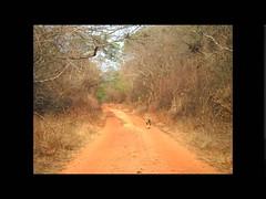 CACHORRO DO MATO - MANGA - MG - Mata seca (portalminas) Tags: cachorro do mato manga mg mata seca