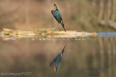 2 in 1 (Ross Forsyth - tigerfastimagery) Tags: kingfisher reflection mirror diving bird avian scotland wildlife wild nature dumfriesandgalloway scottishphotographyhides animalplanet fantasticwildlife