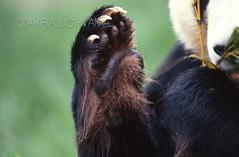 ZOO0553 (Akira Uchiyama) Tags: 動物たちのいろいろ 手 手ジャイアントパンダ