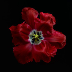 Red parrot tulip (Funchye) Tags: parrot tulip tulipan red rød flower blomst nikon d610 105mm