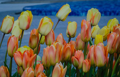 Tulips in Helsingborg (frankmh) Tags: plant flower tulip helsingborg skåne sweden outdoor