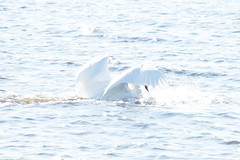 Swans (tiina.harjunpaa) Tags: swan bird animal water ocean sea white blue feather wings outdoor nature mothernature photo photgraphy canon view myview