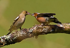 Cock and Hen  Eurasian chaffinch  ( fringilla coelebs ) - Courtship feeding !! (Clive Brown 72) Tags: birds songbird breeding pair courtship feeding food passig wales chaffinch courtshipfeeding breedingpair