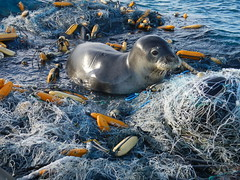 20.45 Quiz midway cleanup (mauitimeweekly) Tags: 2045quiz midway cleanup ocean seal monkseal quiz