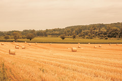 _Q9A5420 (gaujourfrancoise) Tags: france southwest sudouest charente fields champs été summer ocher ocre