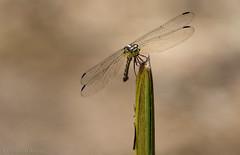 Misagria parana... (Glenn van Windt) Tags: misagriaparana gewonevlekrug odonata dragonfly libel insect macro closeup nature natuur suriname sigma180mm128apomacrodghsm