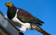 I Better Not Fall (Jocey K) Tags: newzealand southisland canterbury akaora bankspeninsula sky nativepigeon kererū woodpigeon bird pigeon