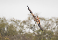 Red-Kite-4137 (Kulama) Tags: redkite kite birds birdsofprey nature wildlife woods land spring flight canon7dmarkii sigma150600563c