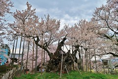 山高神代桜 (namhdyk) Tags: cherry cherryblossoms sakura jindaisakura 山高神代桜 canon canonpowershot canonpowershotg7x