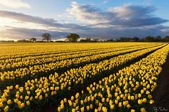 Spring to Life (John Soliven) Tags: tulips fieldoftulip yellow warmlight norfolk kingslynn eastwinch spring progreyfilter progrey progreyusa leadinglines bulb field