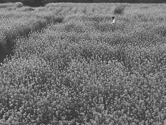 Rape field (TokyoGyango) Tags: iphone japan landscape monochrome bnw