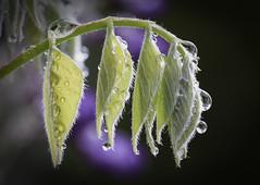 Weeping wisteria (Mariette80) Tags: glycine goutes gouttelettes mousses