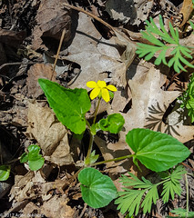 Violet of some sort? (Arlen Breiholz) Tags: usa springwildflowers plants linncounty eos7d faulkeswoods cameras iowa places wildflowers cedarrapids unitedstates us
