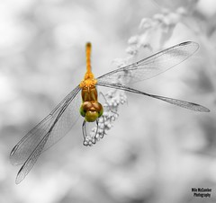 Dragon Fly, Bannister Lake, Cambridge, Ontario, Canada. (mikemccumber) Tags: dragonfly dragonflies insects macrolens macrophotography blackandwhitephotography blackandwhite wildlifephotography wildlife animals nature art splash