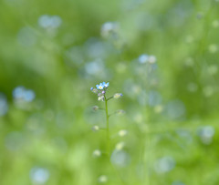 One among many (Varvara_R) Tags: nature macro flower forgetmenot blue green grass tiny small