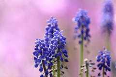 Muscari (cate♪) Tags: flowers muscari sakura cherry blossoms