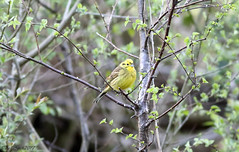 Yellowhammer (Male) (Georgiegirl2015) Tags: birds bbcwalesnature bird canon countryside carmarthenshire ef300mm spring sunny wildlife woodlands wales avian rspb river bunting yellowhammer