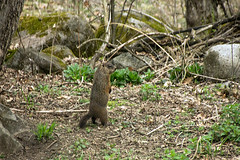 Groundhog upright 2 (sw_bobster) Tags: groundhog woodchuck mammal wild
