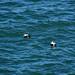 Family of Eiderducks (steve_whitmarsh) Tags: crudenbay aberdeenshire scotland animal birds nature eiderduck water sea coast