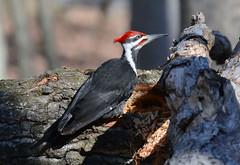 Pileated Woodpecker (av8s) Tags: pileatedwoodpecker woodpecker treeclingingbirds birds wildlife nature photography nikon d7100 sigma 120400mm pennsylvania pa