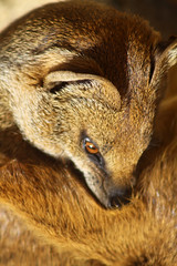 Cotswold Wildlife Park (Jopper.Photo) Tags: cotswoldwildlifepark wildlife mongoose