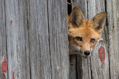 Red Fox in Barn (Scott Weberpal) Tags: redfox fox vulpes barn wildlife animal cute canon 100400 7dmarkii telephoto wisconsin