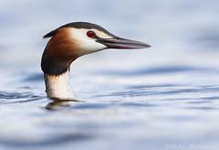 great crested grebe (Mike Mckenzie8) Tags: british uk wild wildlife bird spring lake water head detail