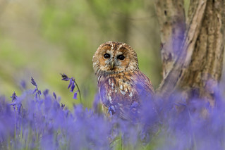 Tawny in the Bluebells  (Explored 25.04.2017)