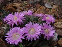 Aloinopsis spathulata DSC09095 (sierrarainshadow) Tags: aloinopsis spathulata