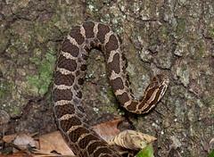 Eastern Massasauga Rattlesnake (Nick Scobel) Tags: michigan pit endangered fangs viper eastern rattlesnake venomous rattler sistrurus massasauga catenatus