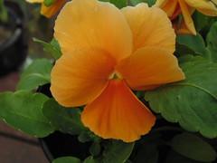 orange flower (liam98pearcey) Tags: orange flower up close