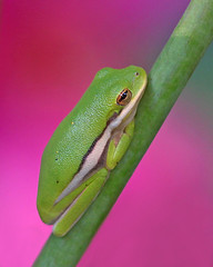 Tiny green treefrog in pink hibiscus - wild (Vicki's Nature) Tags: pink wild macro green yard canon georgia colorful dof bokeh stripes small ngc 100mm frog hibiscus npc tiny sweep greentreefrog thumbwrestling threecolors twocolors twothumbsup gamewinner 8333 unanimous 500px challengegroupwinner vickisnature fotocompetitionbronze cgwinner thumbwrestlingwinner fotogreen gamex2winner tuwinner coth5 gamex3winner gamex2sweepwinner gameonwinner pregamewinner pregamesweep gamesweepwinner ruby10 pregamesweepduel pregameduelwinner gamepregamewinner gamegamex2 supershotswinner readywrestlingmatch tuwrestlingmatch gamegamex3 pregamecolorful gamegameon pinkiefingersize tuanything supershotscontestoct2014 readyfotosilver cgiconsquare