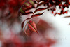 """You're the strangest person I ever met she said & I said you too & we decided we'd know each other a long time."" (ggcphoto) Tags: autumn light red leaves catchycolors season 50mm branch bokeh maroon storypeople brianandreas canoneos600d eosrebelt3i"