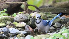 He's common and (ricmcarthur) Tags: blue bird nature yard pond jay bluejay loud bold cyanocittacristata brash rondeauprovincialpark explored ricmcarthur rondeauric canont3i rickmcarthur