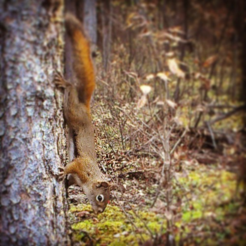 A red squirrel heads down a tree to pick up the mouthful of comes he dropped #yxy #Yukon #fall #hoarding
