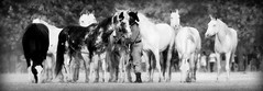 La de pelo entreverao (Eduardo Amorim) Tags: brazil horses horse southamerica brasil criollo caballo cheval caballos cavalos pelotas pferde cavalli cavallo cavalo gauchos pferd riograndedosul pampa hest hevonen campanha brsil chevaux gaucho  amricadosul beijos hst gacho  amriquedusud  gachos  sudamrica suramrica amricadelsur  sdamerika crioulo caballoscriollos criollos   costadoce americadelsud  crioulos cavalocrioulo americameridionale caballocriollo eduardoamorim cavaloscrioulos