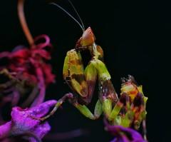 Creobroter pictipennis L4, ~0.6-inch relaxed BL (_papilio) Tags: macro mantis nikon invertebrate canonmpe65mm papilio mantid arthropod pictipennis creobroter sigma150mmapo d800e
