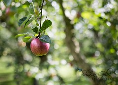 ...the final apple... (S V Giles) Tags: uk apple sunshine orchard canon5d appletrees