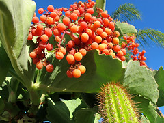 Fall in Southern California (Bennilover) Tags: california blue autumn cactus sky green fall sunshine berry berries seasons succulents spiny